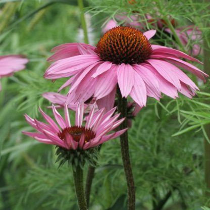 Echinacea 'Fatal Attraction' – kasvirág 2