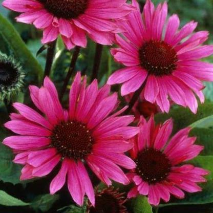 Echinacea-fatal-attraction-kasvirag