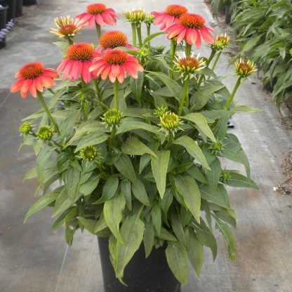 Echinacea-orange-red