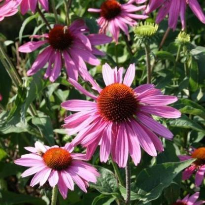 Echinacea_purpurea_praire-splendor-deep-rose-kasvirag