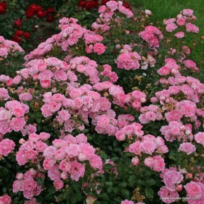 Flirt 2011 rózsaszín miniatűr bokorrózsa
