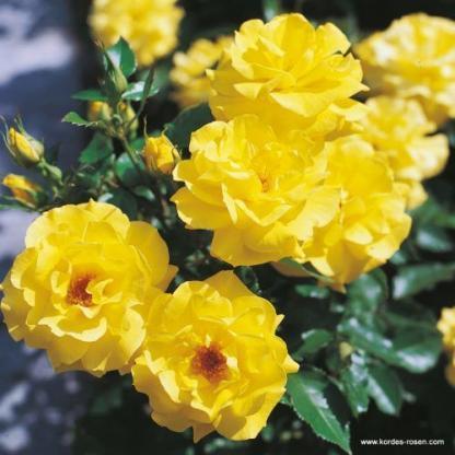 Friesia - sárga ágyás rózsa