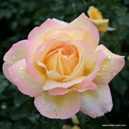 Gloria Dei teahibrid rózsa