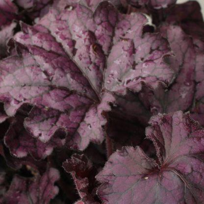 Heuchera 'Forever purple' – tűzgyöngyvirág