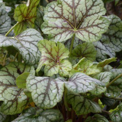 Heuchera 'Green Spice' – tűzgyöngyvirág
