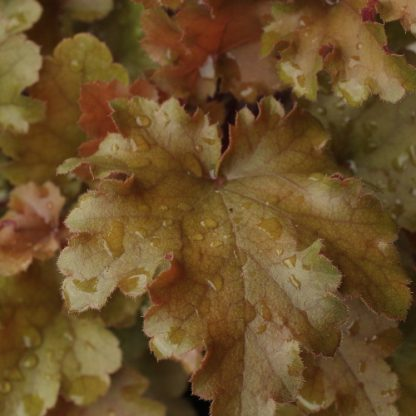 Heuchera 'Marmalade' – tűzgyöngyvirág
