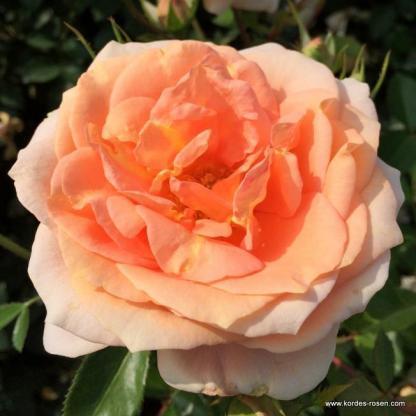 Impala ágyás rózsa