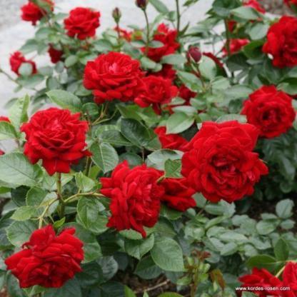 Jugendliebe piros teahibrid rózsa