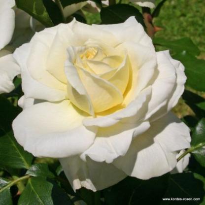 La Perla krémszínű teahibrid rózsa