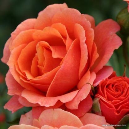 Lambada narancssárga bokorrózsa
