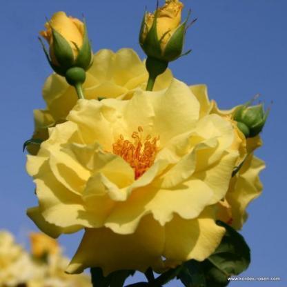 Lichtkoenigin Lucia sárga bokorrózsa