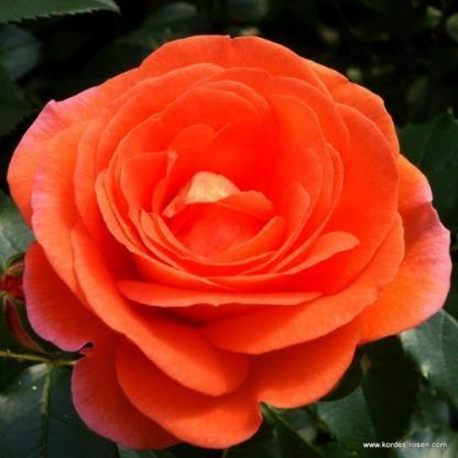 Mango ágyás rózsa
