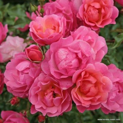 Maxi Vita rózsaszín floribunda ágyás rózsa