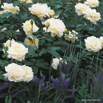 Memoire fehér teahibrid rózsa