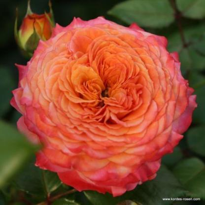 Meteor ágyás rózsa