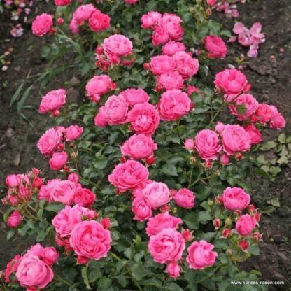 Moin Moin rózsaszín floribunda ágyás rózsa