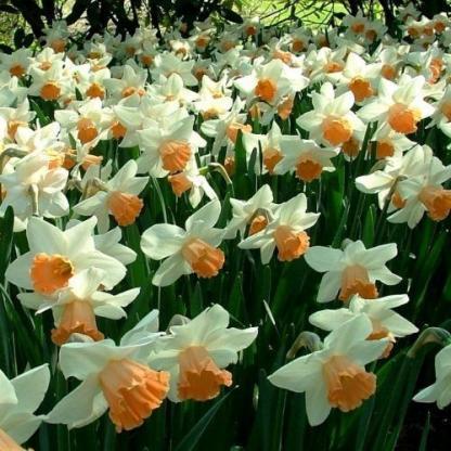 Narcissus Accent-nagyviragú nárcisz virágmező