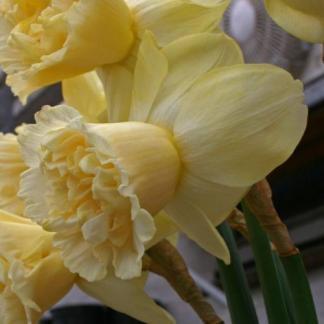 Narcissus-art-design-nagyviragu-narcisz