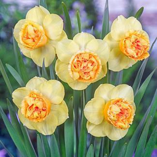 Dupla virágú nárciszok