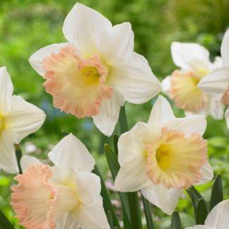 Narcissus-british-gamble-nagyviragu-narcisz