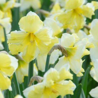 Narcissus-cassata-osztott-koronaju-narcisz