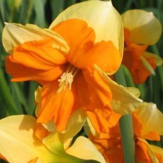Narcissus-centannes-osztott-koronaju-narcisz