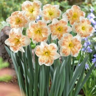 Narcissus-edinburgh-nagyviragu-narcisz
