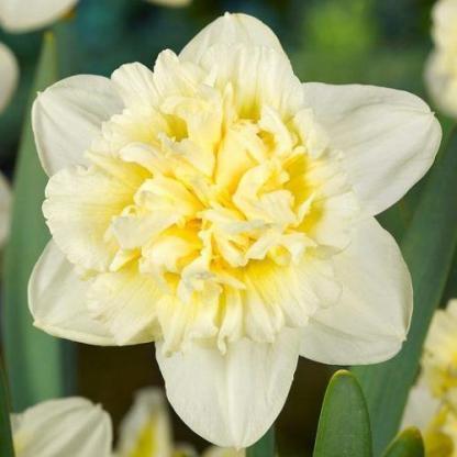 Narcissus-ice-king-duplaviragu-narcisz