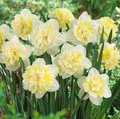 Narcissus-ice-king-duplaviragu-narcisz2