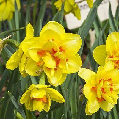 Narcissus-innovator-duplaviragu-narcisz