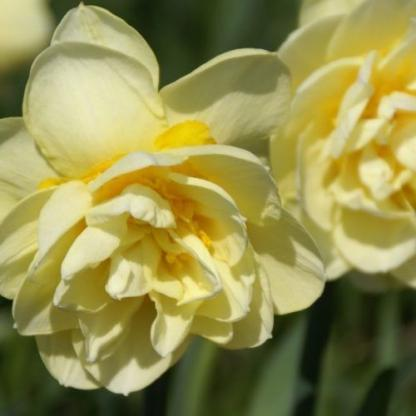 Narcissus-manly-duplaviragu-narcisz