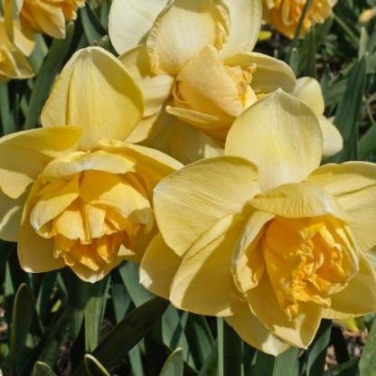 Narcissus-orange-juice-duplaviragu-narcisz2