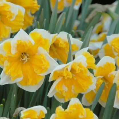 Narcissus-orangery-osztott-koronaju-narcisz
