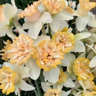 Narcissus-petit-four-duplaviragu-narcisz