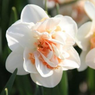 Narcissus-pink-paradise-duplaviragu-narcisz