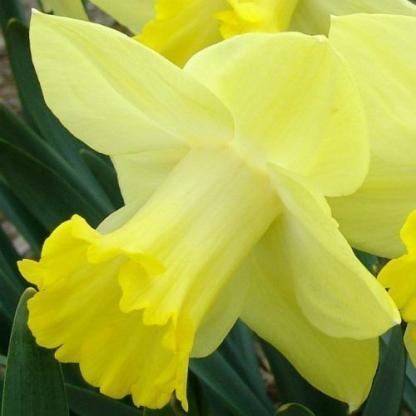 Narcissus-pistachio-trombitaviragu-narcisz