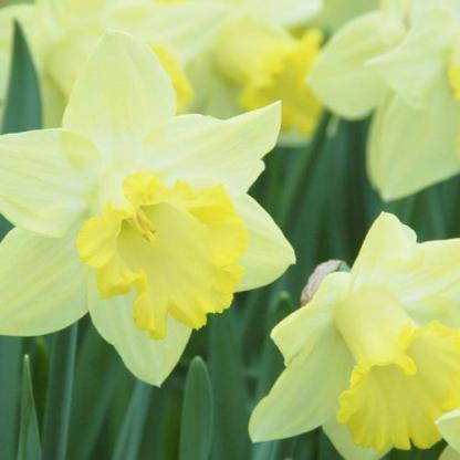 Narcissus-pistachio-trombitaviragu-narcisz2