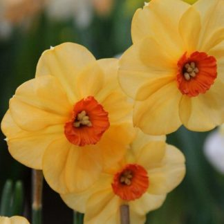 Narcissus-sabine-hay-kisviragu-narcisz