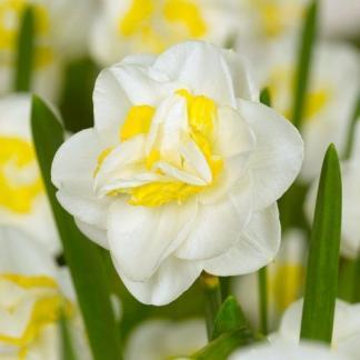 Narcissus-salou-duplaviragu-narcisz