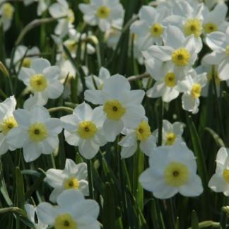 Narcissus-segovia-kisviragu-narcisz