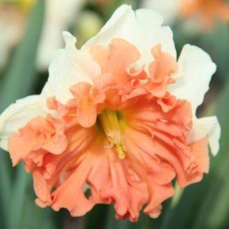 Narcissus-shrike-osztott-koronaju-narcisz