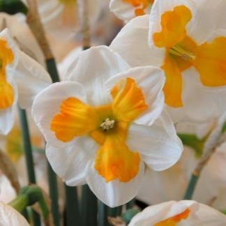 Narcissus-tricollet-osztott-koronaju-narcisz