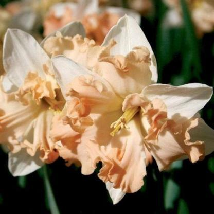 Narcissus-walz-osztott-koronaju-narcisz