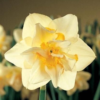 Narcissus-white-lion-duplaviragu-narcisz