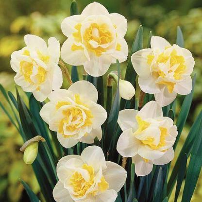Narcissus-white-lion-duplaviragu-narcisz2