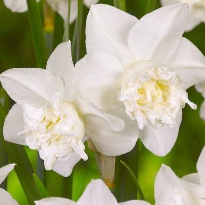 Narcissus-white-marvel-duplaviragu-narcisz