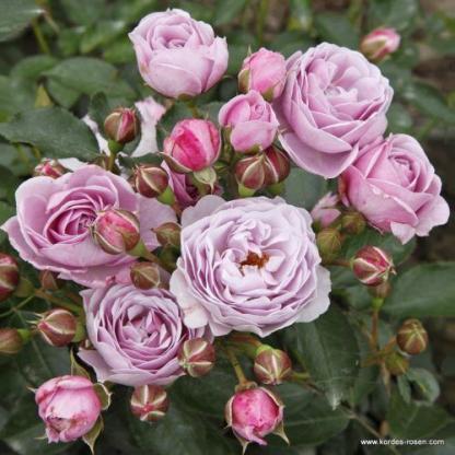Nautica floribunda ágyás rózsa, levendula színű