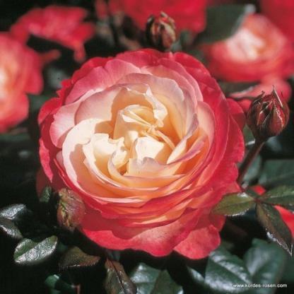 Nostalgie - teahibrid rózsa