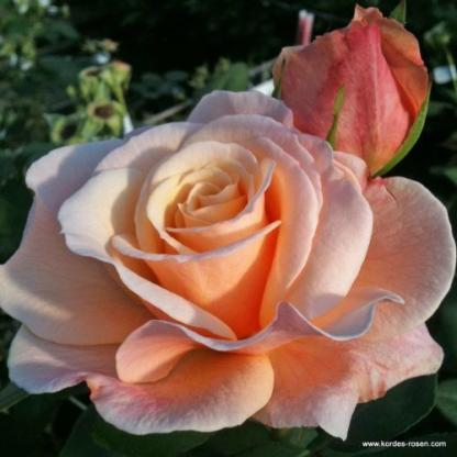 Oh Happy Day teahibrid rózsa