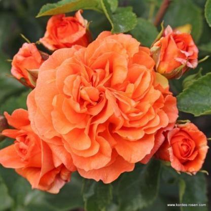 Orangerie narancssárga floribunda ágyás rózsa